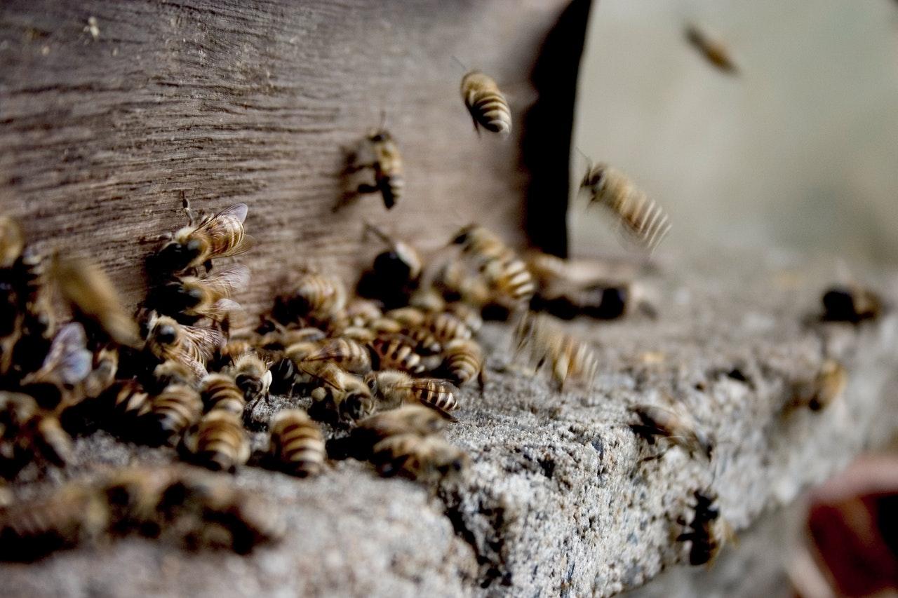 Propolis ist ein Stoff, der von Bienen hergestellt wird, um ihre Behausung abzudichten und vor Keimen zu schützen.